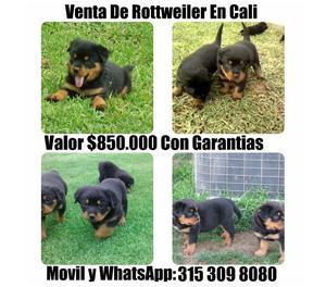 Cachorros Rottweiler Linea Alemana Originales En Venta