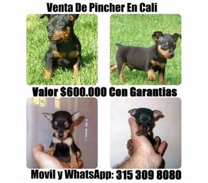 Venta De Adorables Cachorros Pincher Miniaturas