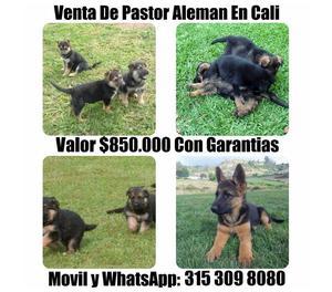 Venta De Lindos Cachorros Pastor Aleman Finos