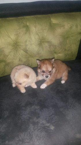 Cachorros Pomerania De Raza Pura