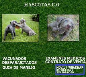 BRACO WEIMARANER puros cachorros en venta**