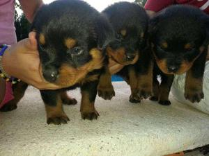Hermosos cachorros ROTTWEILER En venta