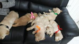 Cachorros Golden Retriever Negociables