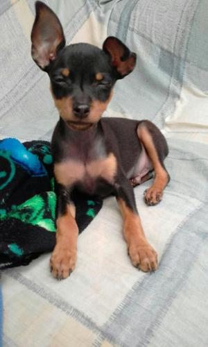 Se Vende Hermoso Cachorro Pincher Tasita