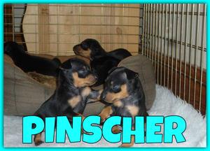 LINDOS PINCHER MINI A LA VENTA !!