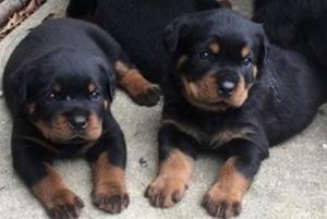 rottweiler cachorritos en venta***