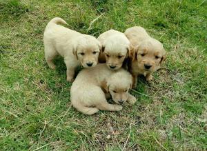 Cachorritos Golden Retriver