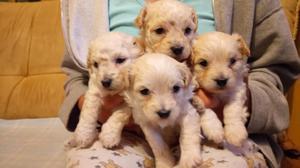 Cachorros French Poodle Tacita de Té Pur