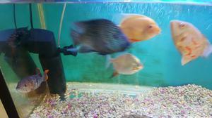 Peces gupis de velo vendo posot class for Vendo peces