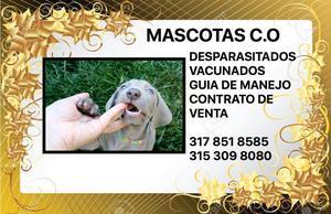 braco weimaraner, garantizada su pureza en venta cachorros !