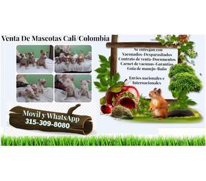 Venta de divinos cachorros de raza Bull Terrier finos