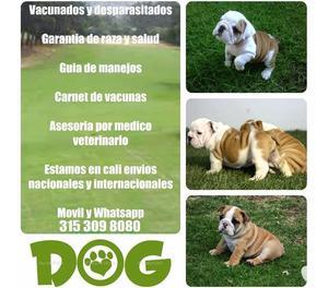 Venta de hermosos cachorros bulldog ingles garantizados