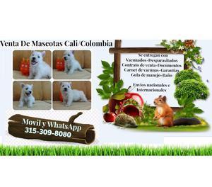 Venta de lindos cachorros West Highland White Terrier