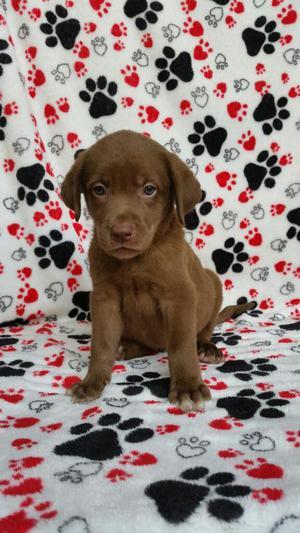 Hermosa Labradora de Dos Meses