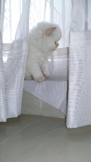 Vendo Gatito Persa de Raza
