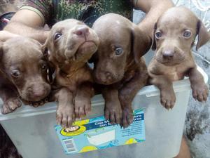 Cachorros Braco Aleman