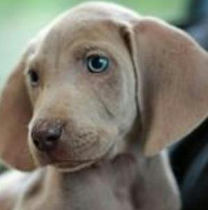 Hermosos Cachorros Weimaraner