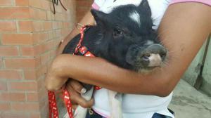 Pareja de Mini Pig