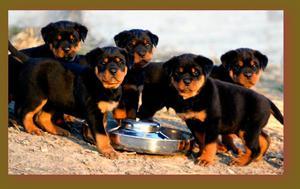 Rottweiler en venta en Cali