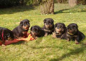 Hermosos Rottweiler