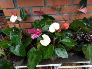 Compro plantas de anturio martillado posot class for Plantas de interior anturio