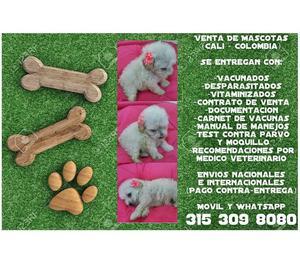 Venta de mascotas cachorros french poodle mini toy finos