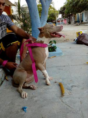 en Venta Cachorra Pitbull de 10 Meses