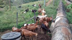 se vende lote de ovejos o por unidad a  por kg.