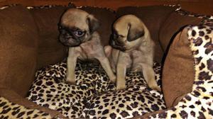 4 cachorros Pug carlinos machos en venta