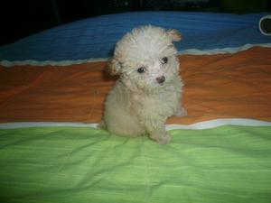 French Poodle Tacita Te