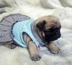 Se Vende Pug