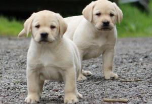 cachorros labrador retriver labradores chocolate negro