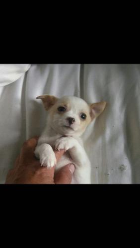 Chihuahuas De Dos Meses Y Medio