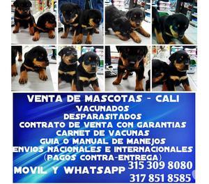 En venta cachorros Rottweiler lindos