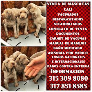 Venta de mascotas de raza Braco weimaraner