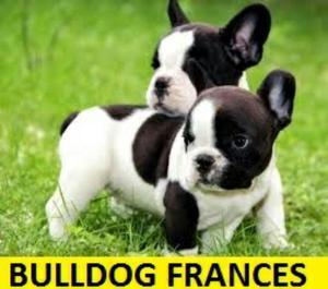 Hermosos Bulldog Frances en Venta