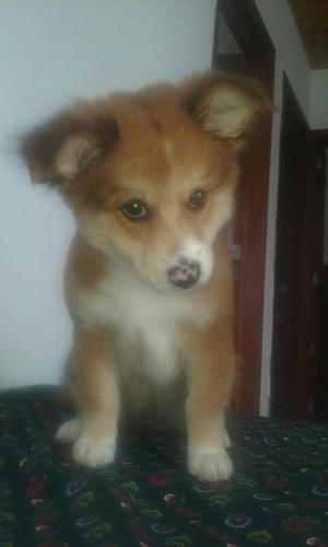Vendo Perro Husky Enrazado
