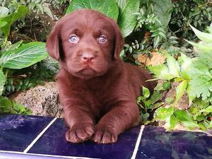 Hermosos Labradores Chocolates Disponibl