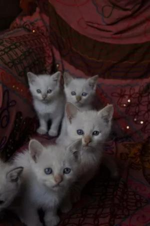 Vendo Gaticos Siames Tabby