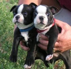 cachorros boston terrier en venta