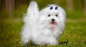 urg. adopto perrito de raza pequeño