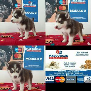 Vendo Bellos Husky Siberian Manto Cafe
