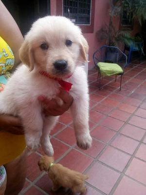 Vendo Cachorritos Golden Retriver