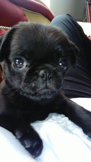 vendo hermoso cachorro pug negro de 55 dias de nacido