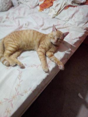 Lindo Gatito en Adoccion