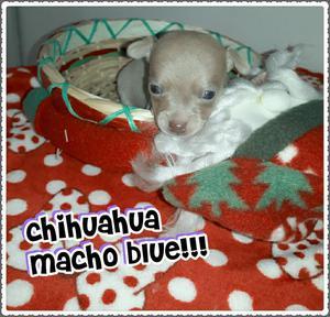 Blue!!!!chihuahua Macho For Salee Garant