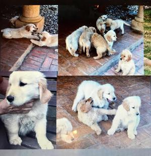 Cachorros Golden 4 Meses