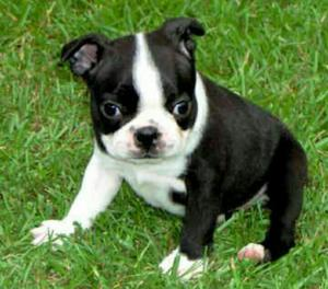 Hermosos Cachorros de Boston Terrier