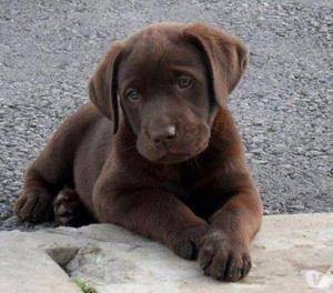 Lindos Garantizados Labradores Dorado y Chocolate