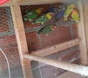 aves ornamentales